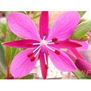 WIllowherb™ Виллоухерб